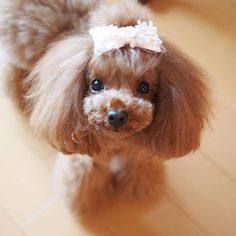 * Good morning☀️ Have lovely day🐶💕 #princesscosmos #poodle #east_dog_japan #poodlelove #tokyo#koinu#kawaii#teddybear #teacuppoodle #愛犬#貴婦狗 #親バカ万歳キャンペーン#wanko#pawsomepoodles#teacuppoodle#poodle#poodlelove#todayswanko#toypoodle#ティーカッププードル#ふわもこ部#ママメイド#ilovemydog #cutedog #doglove