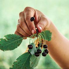 """Reconocer las hierbas útiles y distinguirlas de las plantas no comestibles o tóxicas es solo el primer paso en la tarea de recolección, pero con las indicaciones que te proponemos en este artículo dispondrás de la información necesaria para tu primera cosecha silvestre. ¿Te animas?Breve recordatorio de seguridad antes de empezarLa primera pregunta que cualquier recolector o recolectora primerizo que vaya en busca de plantas silvestres debería hacerse es """"¿Cómo saber si una planta es… Malva, Drop Earrings, Plant Identification, Medicinal Plants, Healing Herbs, Harvest, Safety, Drop Earring"""