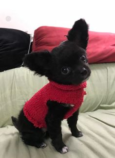Effective Potty Training Chihuahua Consistency Is Key Ideas. Brilliant Potty Training Chihuahua Consistency Is Key Ideas. Chihuahua Mix Puppies, Black Chihuahua, Cute Chihuahua, Cute Puppies, Dogs And Puppies, Cute Dogs, Long Haired Chihuahua, Tier Fotos, Yorkshire Terrier
