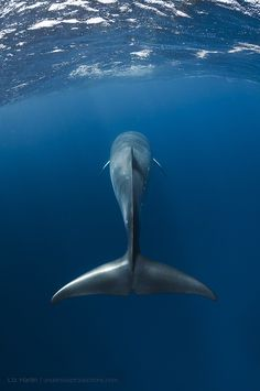 Dwarf minke whale. Great Barrier Reef, Australia