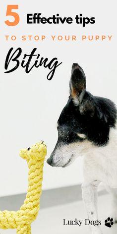 5 Quick Tips to Stop your Puppy Biting – einen Welpen ausbilden Puppy Training Tips, Training Your Dog, Training Pads, Training Classes, Potty Training, Dog Minding, Puppy Biting, Cesar Millan, Easiest Dogs To Train