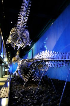 Polar Regions Ready to take on the challenge? Get packed and go on an expedition to the poles! Look! Whales!  The museum's large whale skeletons are magnificent. We have both blue whales, gray whales, sperm whale and bowhead.