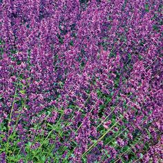 (Nepeta racemosa) 'Walker's Low'Tall spikes of tiny blue or purple flowers that are best clumped together for a punch of color. 'Walker's Low' has fragrant lavender-blue flowers on 24-inch-tall stems that can grow to 3 feet wide; USDA Hardiness Zones 4 to 8. 'Blue Wonder' is more compact, with dark blue flowers; Zones 3 to 8.