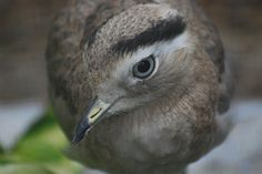 Peruvian Thick-knee | by writhedhornbill