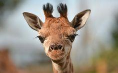 Primer plano de una jirafa recién nacida en el zoo de Chester (Steve Rawlin, 2015)