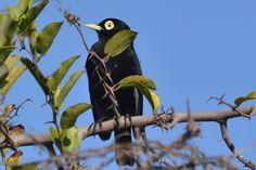 Foto viuvinha-de-óculos (Hymenops perspicillatus) por Flavio Ronaldo | Wiki Aves - A Enciclopédia das Aves do Brasil