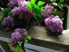 Lilacs from the Garden ⓒ Michaela Medina Harlow - thegardenerseden.com