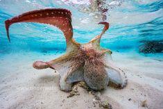 Octopus colors #poulpe #pieuvre #octopus #sea #ocean #cephalopod #cephalopode #tentacle #tentacule #wildlife