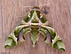 Oleander Hawk - moth