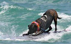 Dog Surfing Competition at Jupiter Beach