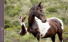 (92) Baroque Pinto Horses in South Africa - Photos