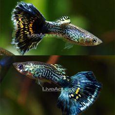 "Blue Cobra Guppy Minimum Tank Size: 20 gallons Care Level: Easy Temperament: Peaceful Water Conditions: 64-82° F, KH 10-30, pH 5.5-8.0 Max. Size: 2½"" Color Form: Black, Blue, Orange Diet: Omnivore Origin: Captive-bred in Asia, Central America to Brazil Family: Poeciliidae"