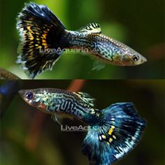 "Blue Cobra Guppy Minimum Tank Size: 20 gallons Care Level: Easy Temperament: Peaceful Water Conditions: 64-82° F, KH 10-30, pH 5.5-8.0 Max. Size: 2½"" Color Form: Black, Blue, Orange Diet: Omnivore Origin: Captive-bred in Asia, Central America to Brazil Family: Poeciliidae"