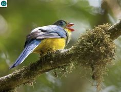 https://www.facebook.com/pages/THI%C3%8AN-NHI%C3%8AN-K%E1%BB%B2-TH%C3%9A/171150349611448?ref=hl Chim Nuốc đảo Sumatra, Indonesia | Sumatran trogon (Apalharpactes mackloti)(Trogonidae)(Apalharpactes) IUCN Red List of Threatened Species 3.1 : Least Concern (LC) | (Loài ít quan tâm)