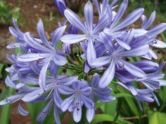Agapanthus [Family: Amaryllidaceae]