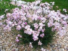 Dianthus Ferynii