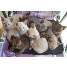 Abyssinian cat for sale perth