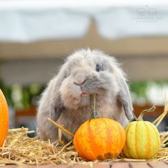 """From @mille_twizzel: """"This is my pumpkin now """" #cutepetclub by cutepetclub"""