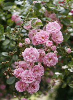 Super Fairy   Garden Roses