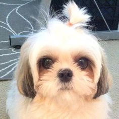 shih tzu / Shitzu / 西施犬 / Chinese Lion Dog / Chrysanthemum Dog Puppy