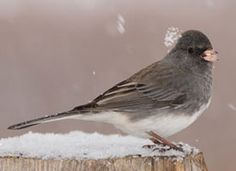 Dark-eyed Junco - took us a while to figure this one out!  Photo courtesy of www.allaboutbirds.org/guide.  Photo by Darin Ziegler
