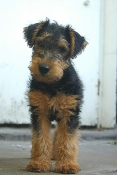 Atticus, Welsh Terrier, 2 months Ahhhhh so sweet I'd have one if these if I could x