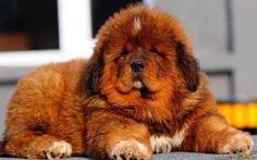 Cachorro de mastín tibetano, el perro más caro del mundo. Su precio puede llegar a superar el millón de euros.