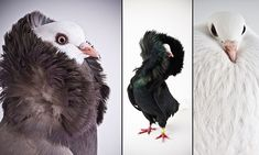 Stunning images put PIGEONS in the place of fashion models