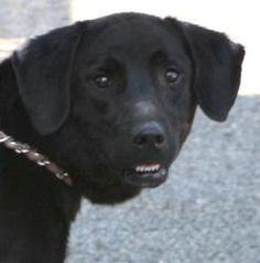 Jasmine is an adoptable Black Labrador Retriever Dog in Warren, OH. I am a sweet girl, about 3 years old, weighing 56 lbs. I have several areas of old fly-strike visible on my ears. It is obvious that...