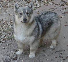 Swedish Vallhund like a corgy & wolf mated. Too cute