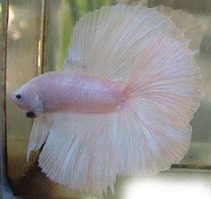 JOE'S AQUAWORLD FOR EXOTIC FISHES MUMBAI INDIA 9833898901: EXOTIC HALFMOON ,CROWN TAILS ,DOUBLE TAIL,PLAKATS, BETTA FIGHTER FISHES MALE FEMALE S SALE 9833898901
