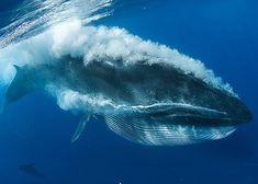 ballena de bryde, balaenoptera brydei