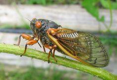 The First Cicadas Wriggle their Way Out | Audubon Magazine Blog
