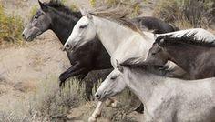Ranchers Scapegoat Horses, Plan Roundups