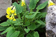☑︎ Gullviva - Växten är sannolikt ofarlig