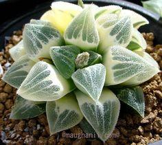 Haworthia Pygmaea Variegate