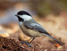 Chickadee. We have a family of these living in the post of our gazebo right now.