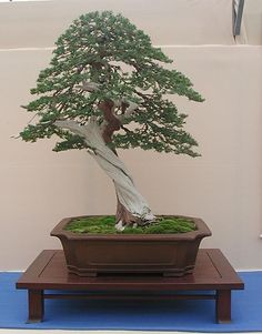 This is sorta like the bonsai tree that I bought/sent my Mom for Mother's Day this year. It will be delivered today! :) I cant wait to see what she thinks of it.