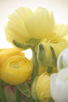 Lovely Yellow Ranunculus