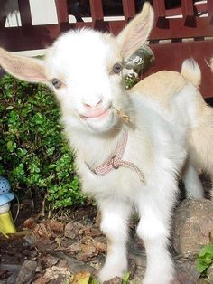 Baby Goats are adorable. Cute Baby Animals, Farm Animals, Animals And Pets, Funny Animals, Nature Animals, So Cute Baby, Pretty Baby, Cute Goats, Baby Goats