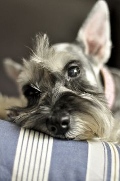 Miniature Schnauzer by SharewithYou2011