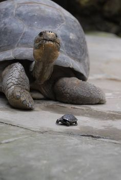 Giant Galapagos tortoise at Zurich Zoo may be world's oldest mother,at 80 she seems to be hitting her stride..