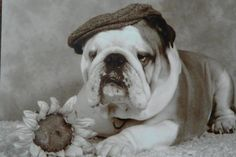 """❤ """"Does this make me a """"French"""" Bulldog?"""" ❤ Unknown Source"""
