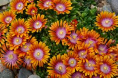 Fire Spinner® (Delosperma 'P001S') is a Plant Select® introduction for 2012. Its ancestry traces to the Eastern Cape of South Africa and it has been extensively trialed in Colorado to gauge its suitability for our climate. Fire Spinner® thrives in rock gardens, borders, containers and landscape plantings. The showy flowers make it visible even from a distance.
