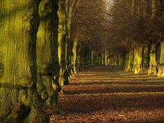 Lime Tree Avenue ~ Clumber Park, Nottinghamshire