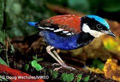 Blue-headed Pitta of Borneo (Pitta baudii) Exotic Birds, Colorful Birds, Pretty Birds, Beautiful Birds, Kinds Of Birds, Ceramic Birds, Pitta, Backyard Birds, Wild Nature