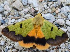 Green drab moth Ophiusa tirhaca