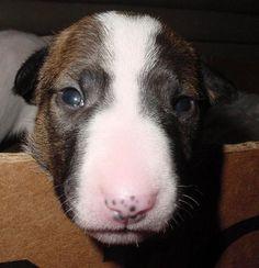 Sal & Cora puppies #bullterrier #dogs
