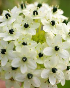 Ornithogalum arabicum (Arabian Starflower)