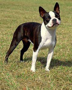 apartment-size dog breeds